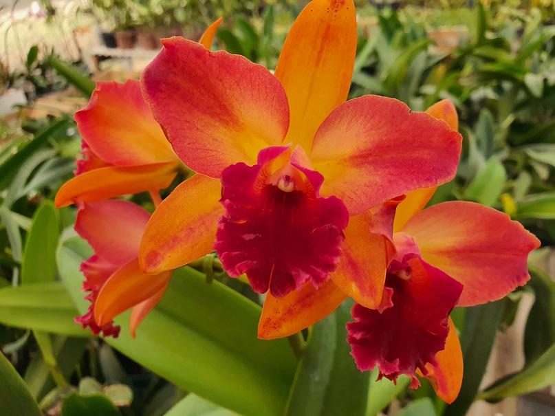 PACOTE EMOÇÕES com Orquídeas Espetaculares e Raras em 12 x pelo cartão crédito