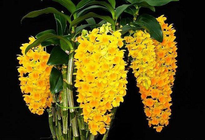 Pacote 50 com cattleyas, vandas, Agraecum,  Oncidium, Dendrobium, Phaleanopsis, Intermédias, Sapatinhos, Stanhopea,  Epidendro,  Denphal