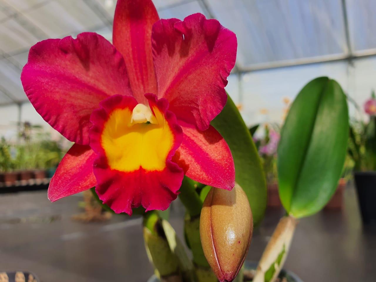 Orquídea Toshie Aoki Red