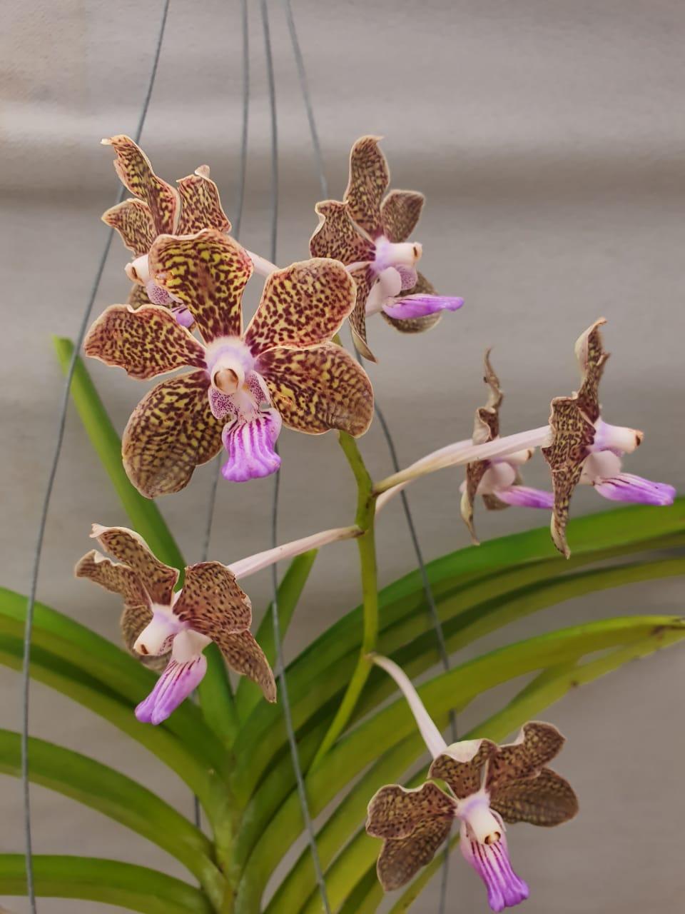 Orquídea Vanda Adulta