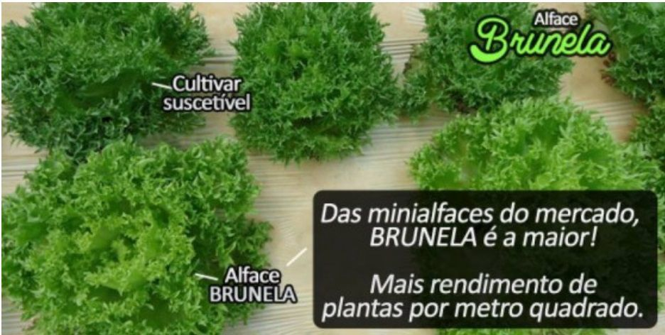 ALFACE CRESPA BRUNELA 5 MX