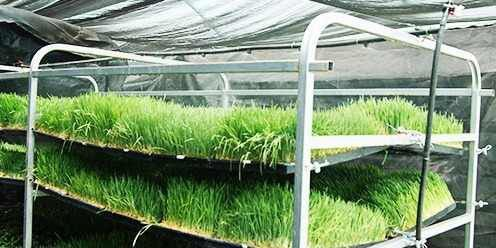 Bandejas para Cultivo de Forragem Verde Hidropônica
