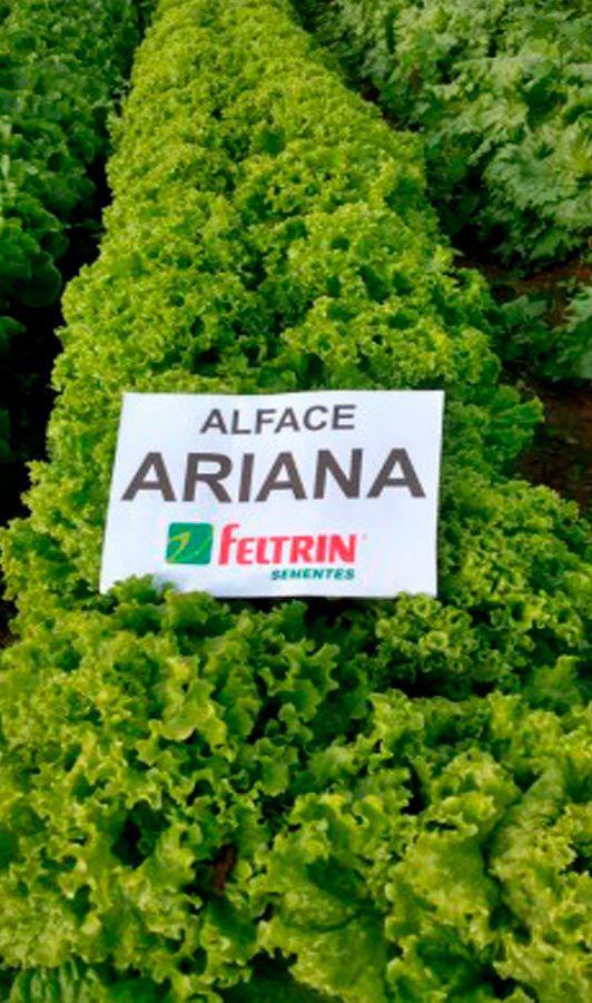 SEMENTES DE ALFACE ARIANA - 1000 UNIDADES