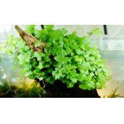 Hydrocotyle tripartita (mini)
