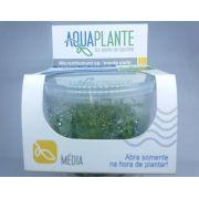 MICRANTHEMUM SP 'MONTE CARLO' In vitro planta 100% LIVRE de pragas e algas