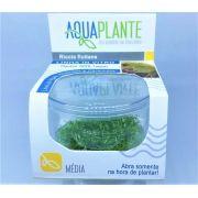 RICCIA FLUITANS In vitro planta 100% Livre de pragas e algas