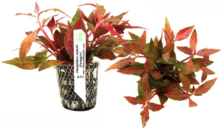 Alternanthera reineckii (Variegata)