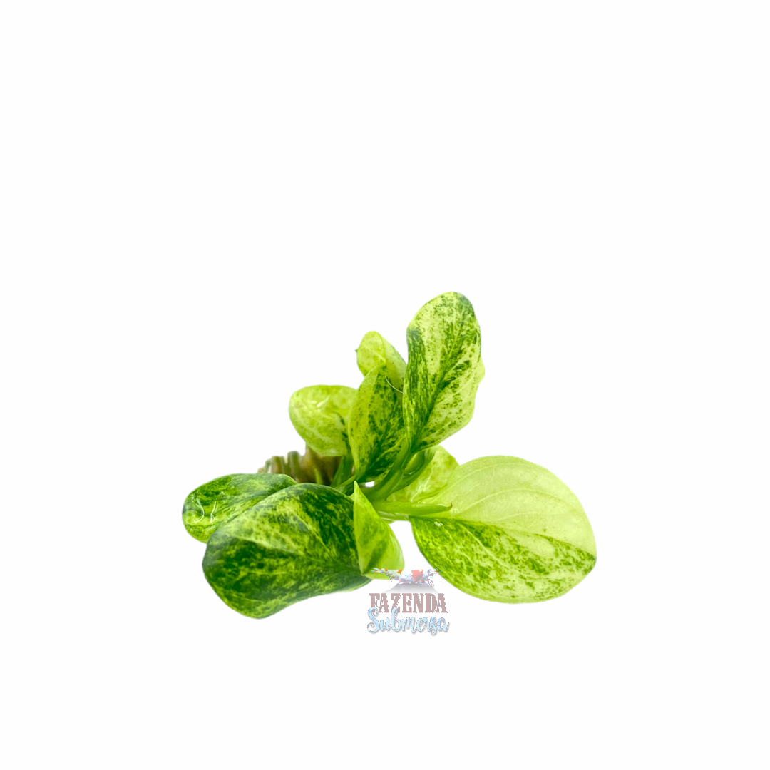 Anubia Green White 'Raridade'