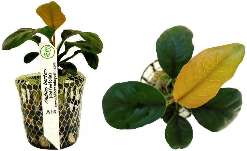 Anubias barteri (coffeefolia)