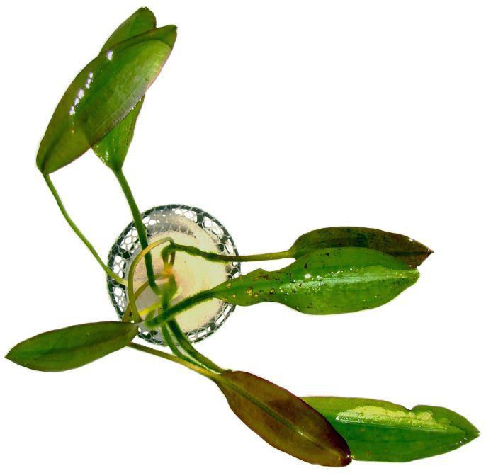 Aponogeton rigidifolius