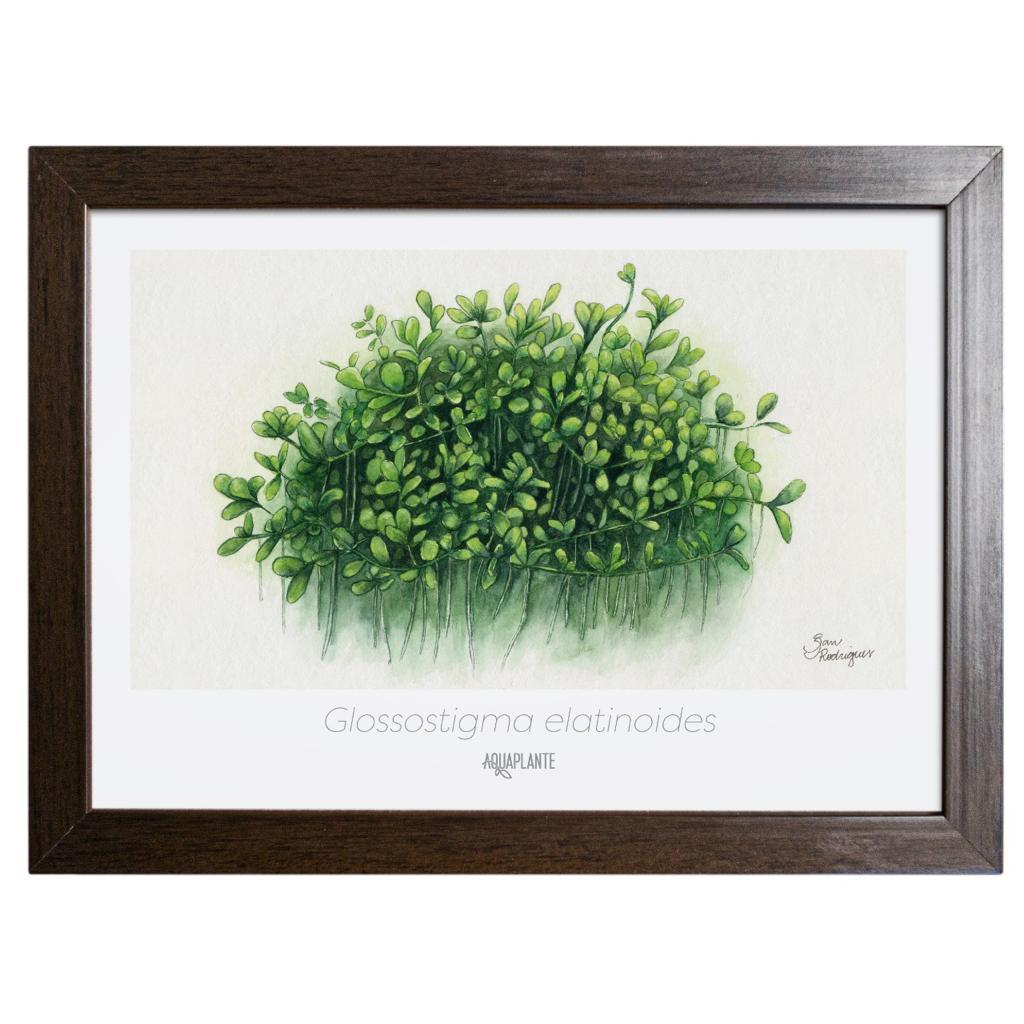 Arte Glossostigma Elatinoides - Aquaplante
