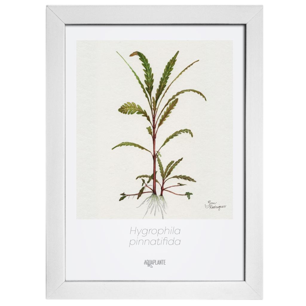 Arte Hygrophila Pinnatifida - Aquaplante