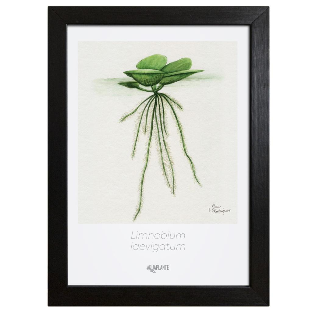 Arte Limnobium Laevigatum - Aquaplante