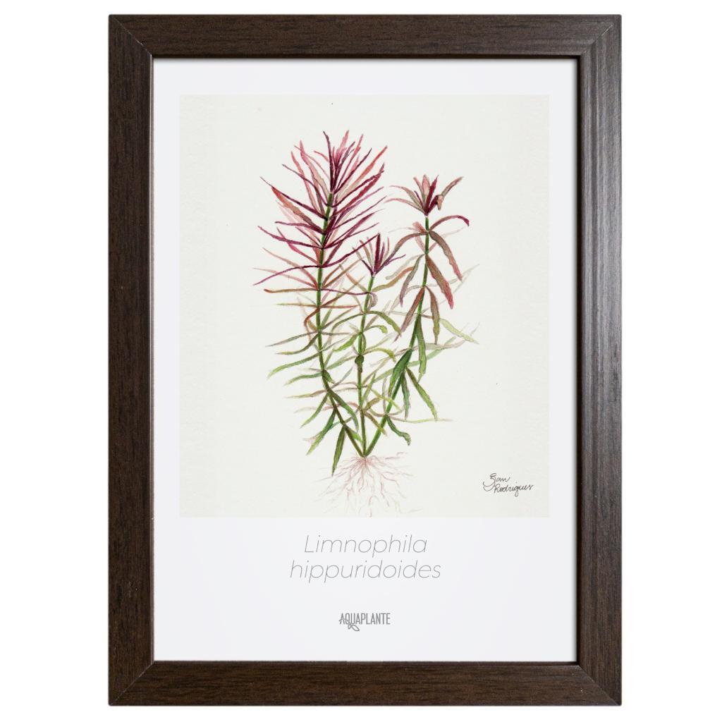 Arte Limnophila Hippuridoides- Aquaplante