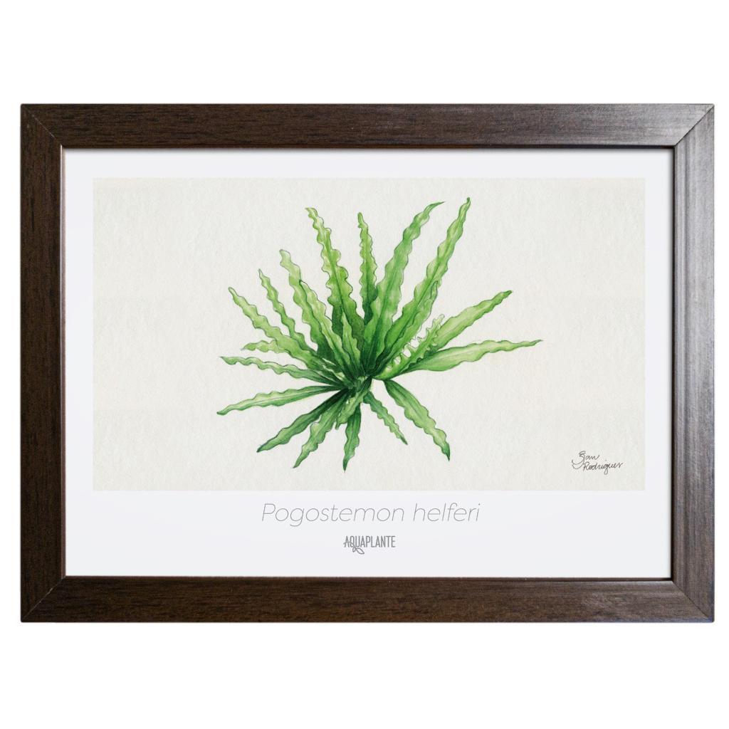 Arte Pogostemon Helferi - Aquaplante