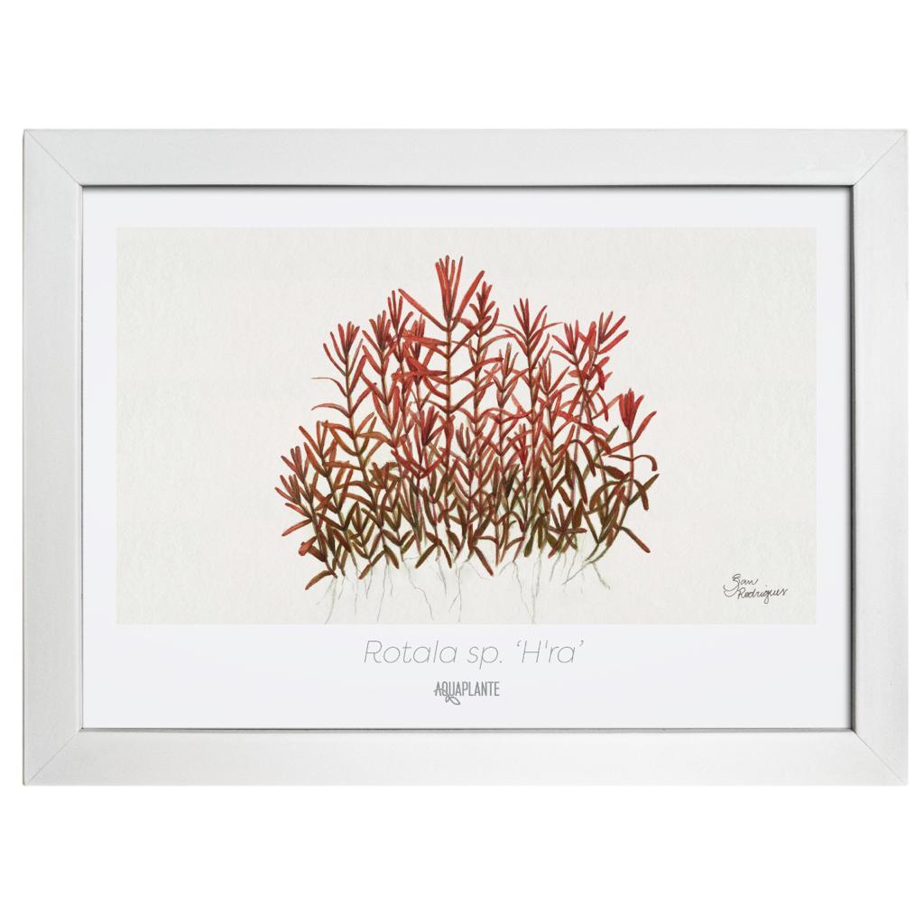 Arte Rotala Sp h'ra - Aquaplante