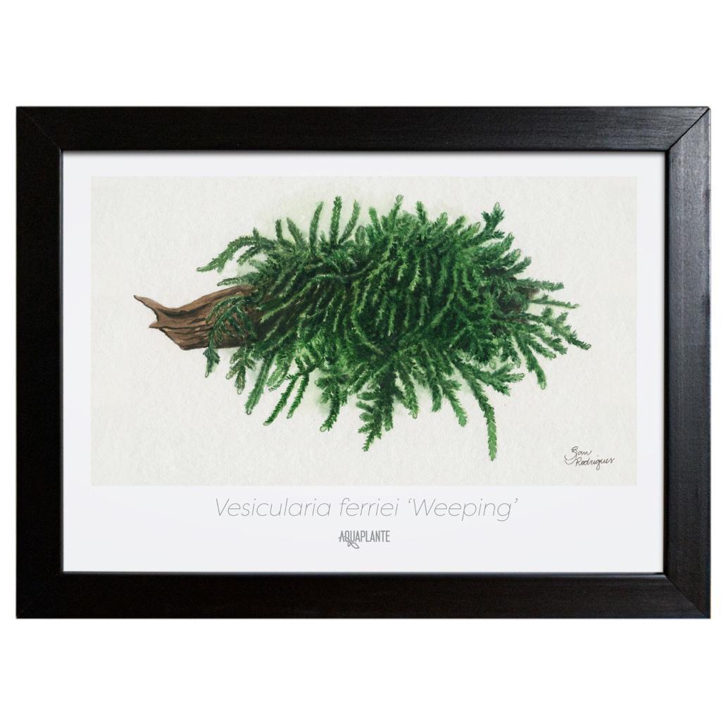 Arte Vesicularia ferriei