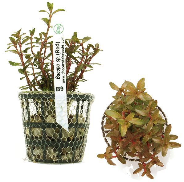 Bacopa sp. (Red)