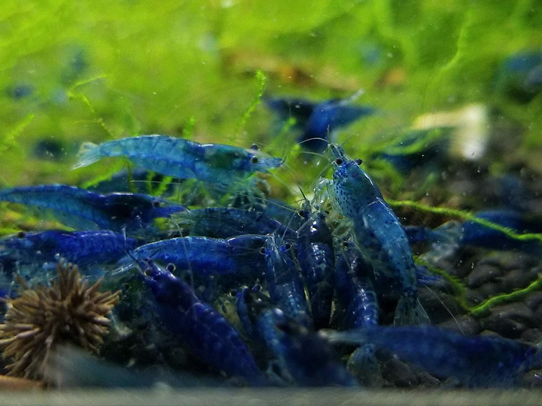 Neocaridina Blue Dream