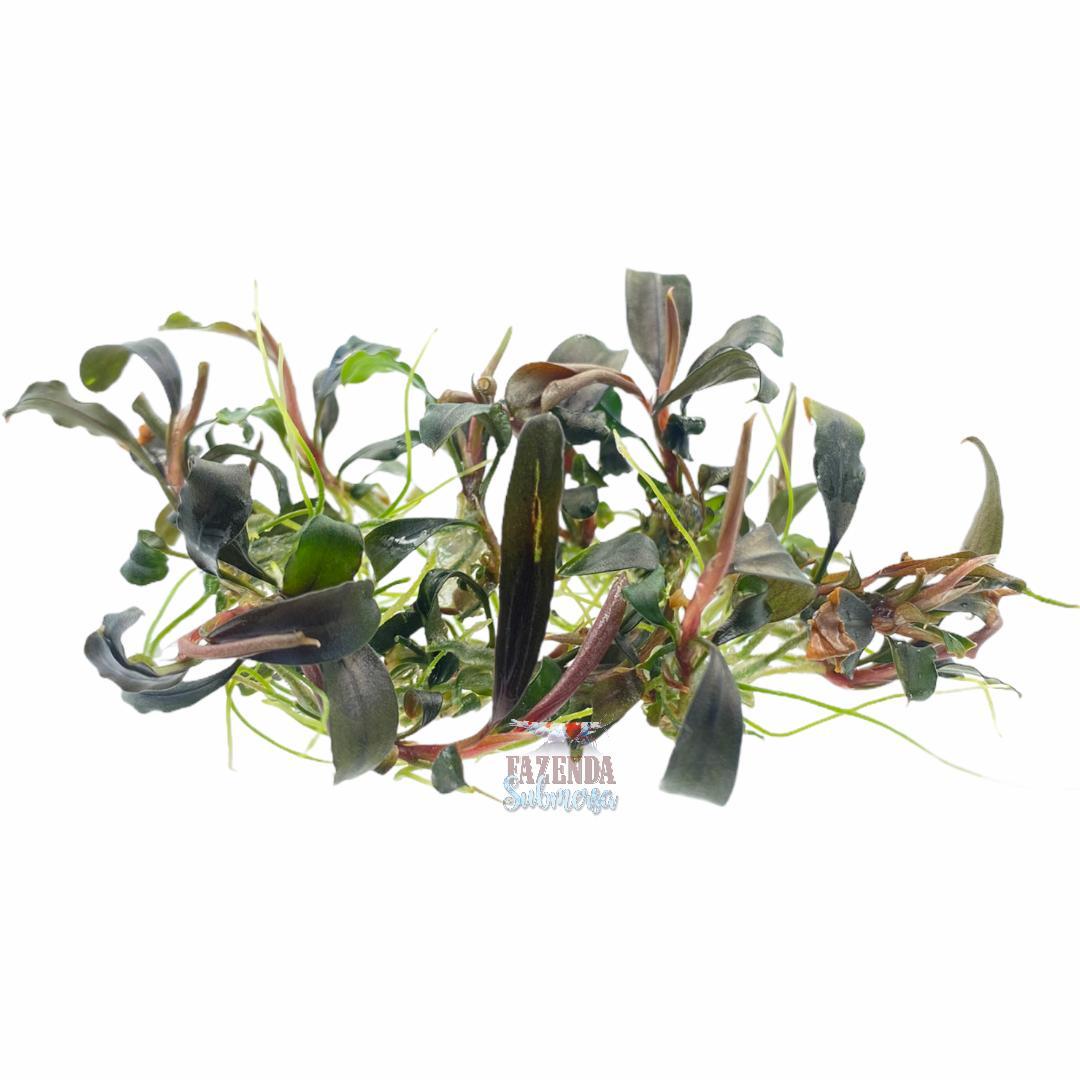Bucephalandra  Neo Amanda