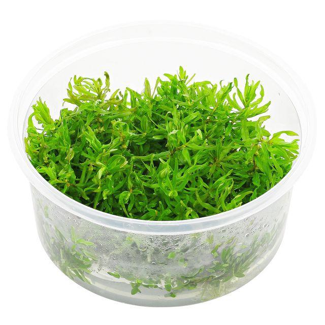 DIDIPLIS DIANDRA  'In vitro, planta 100% Livre de pragas e algas'