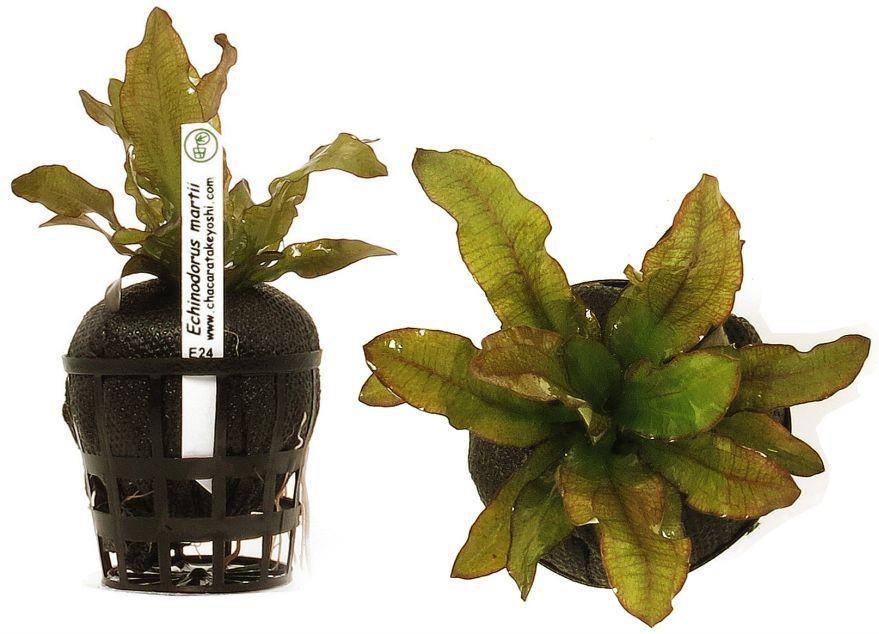 Echinodorus martii