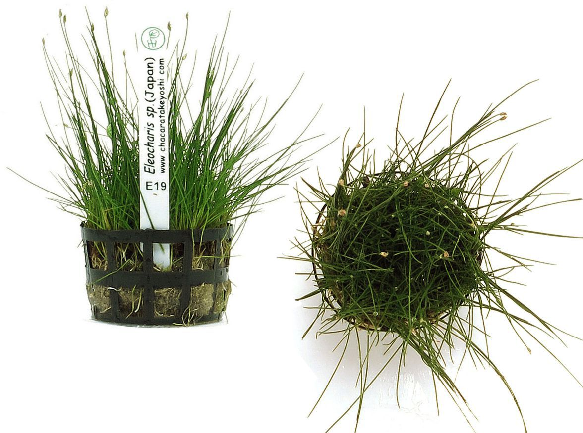 Eleocharis sp. (Japan)