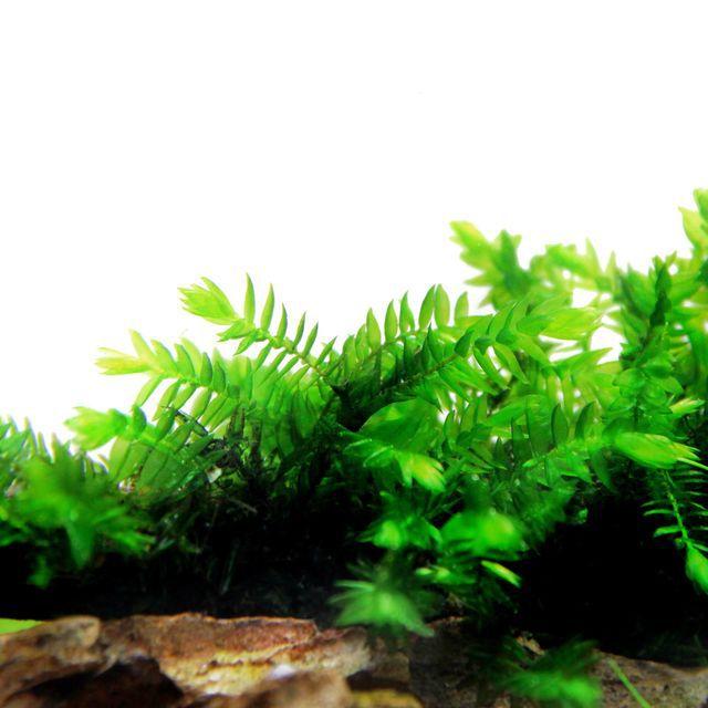 FONTINALIS ANTIPYRETICA Willow Moss  'In vitro, planta 100% Livre de pragas e algas'