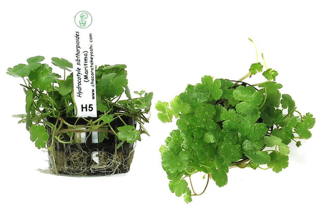 Hydrocotyle sibthorpioides (Maritima)