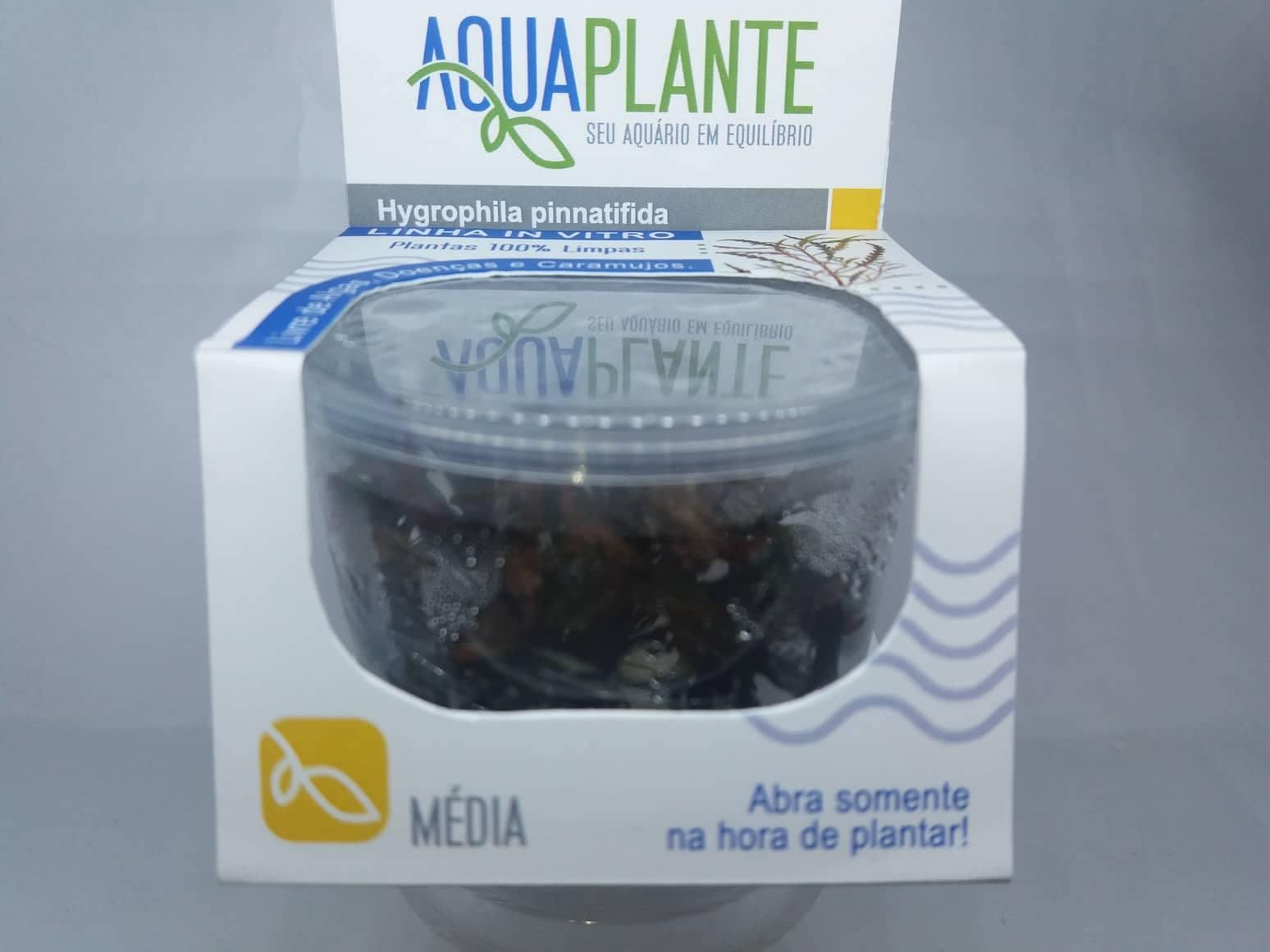 HYGROPHILA PINNATIFIDA 'In vitro planta 100% LIVRE de pragas e algas'