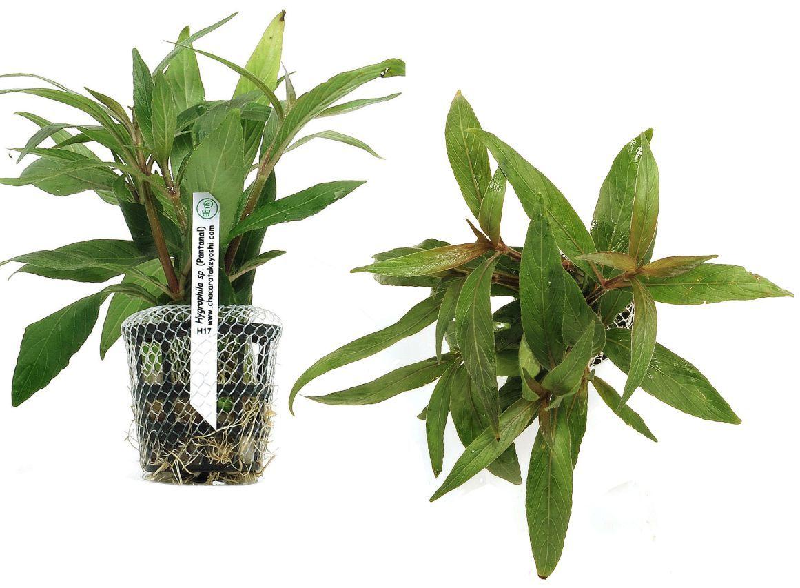 Hygrophila sp. (Pantanal)