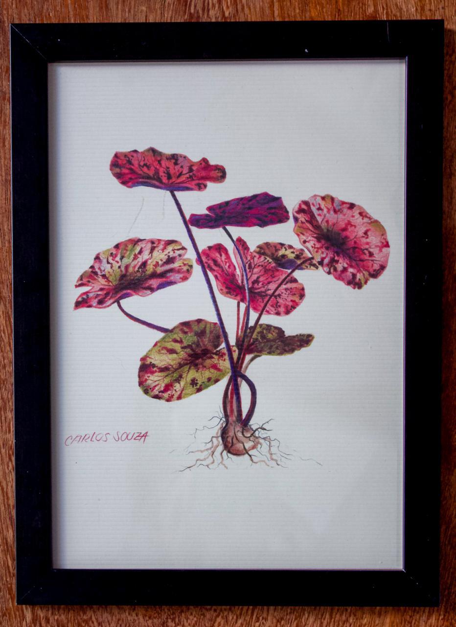 Ilustração  Nymphaea