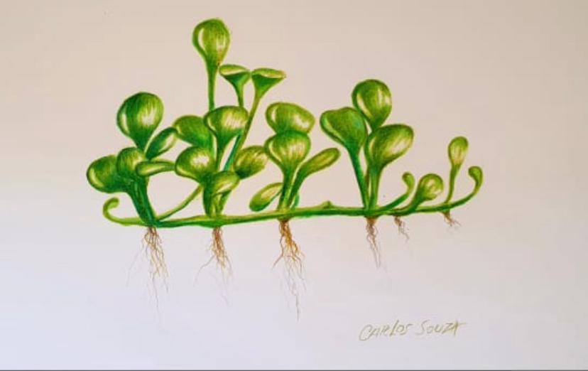 Ilustração PLANTA MARSILEA ANGUSTIFOLIA