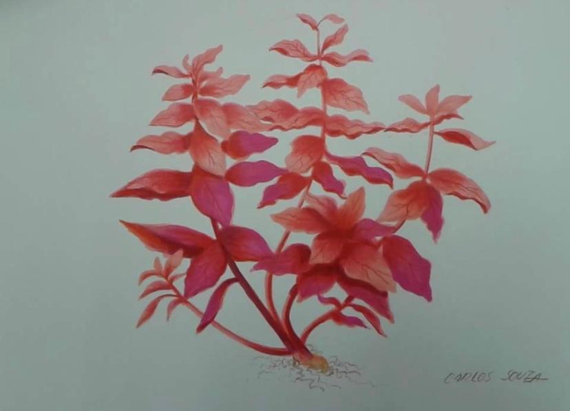 Ilustração PLANTA ROTALA MACRANDRA RED