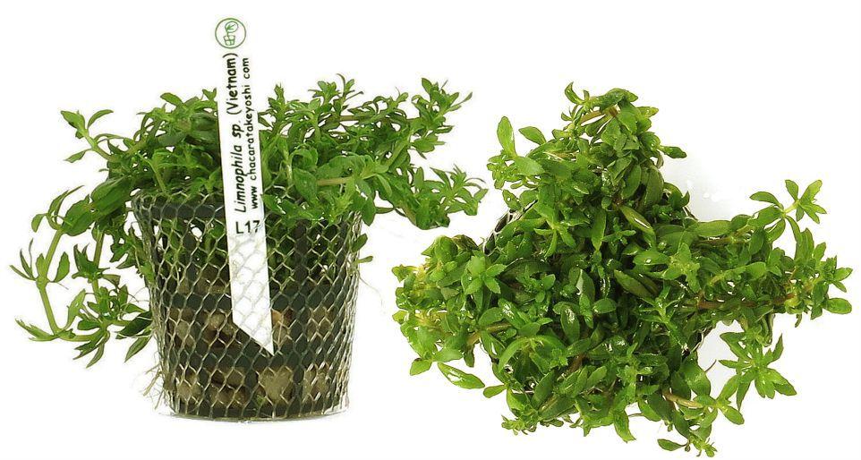 Limnophila sp. (Vietnam)