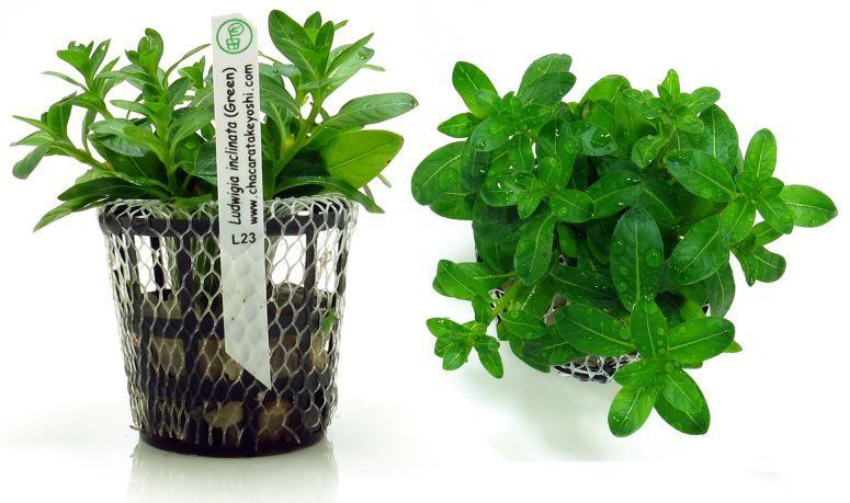 Ludwigia inclinata Green
