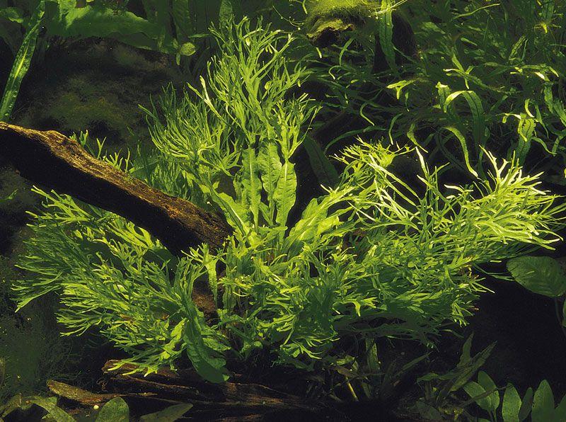 MICROSORUM WINDELOV 'In vitro planta 100% LIVRE de pragas e algas'