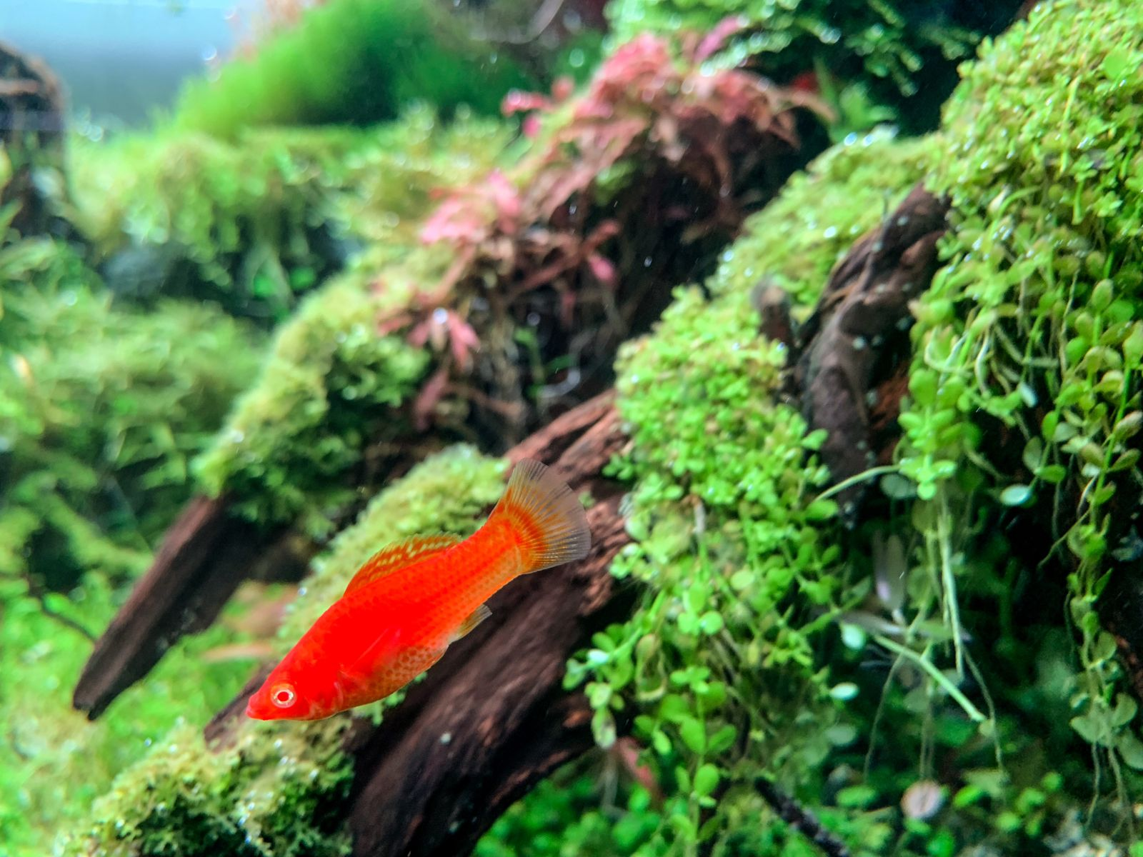 Molinésia Vermelha Velífera Super Sed