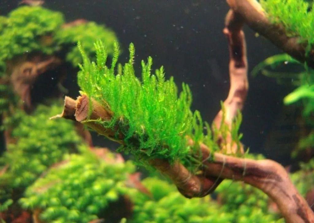 Musgo Flame Moss