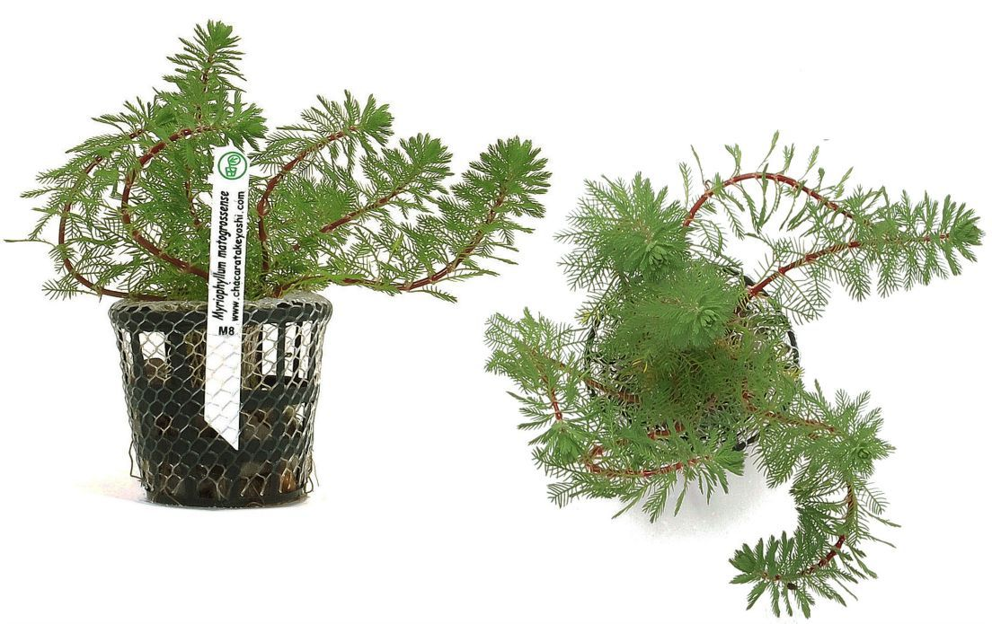 Myriophyllum matogrossense
