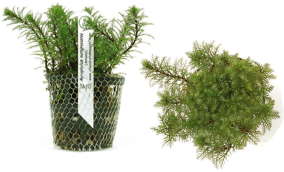 Myriophyllum matogrossense (Amano)