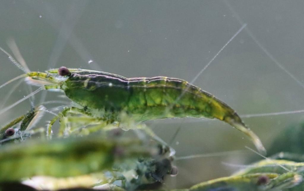 Neocaridina Green