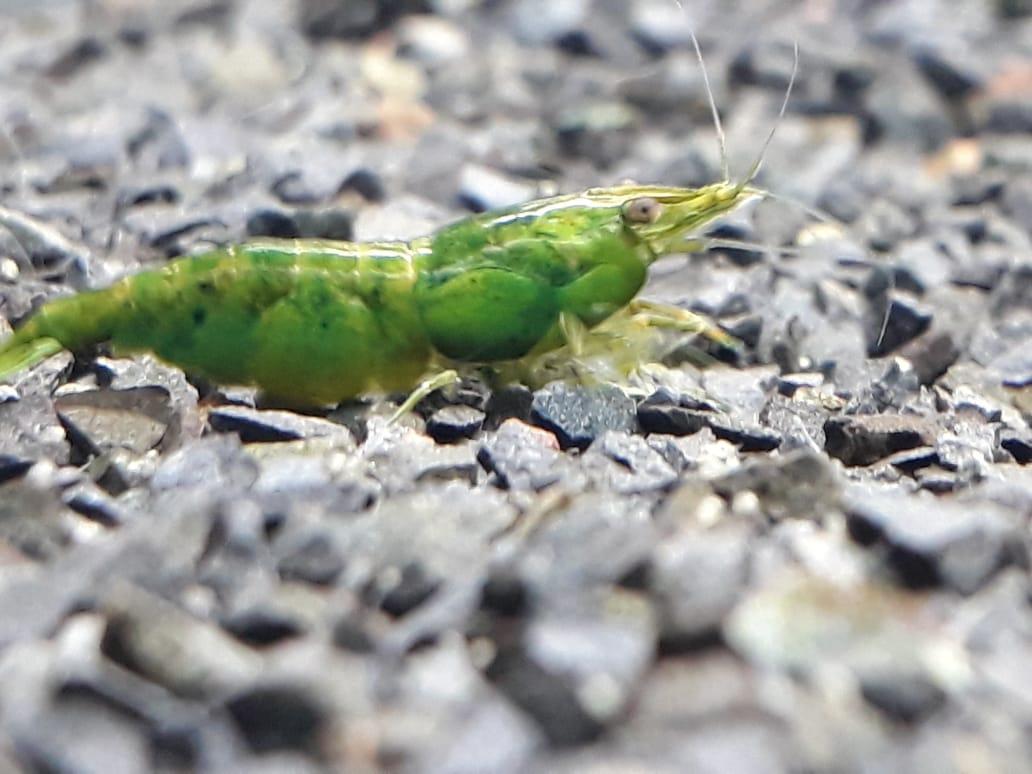 Neocaridina Green Jade