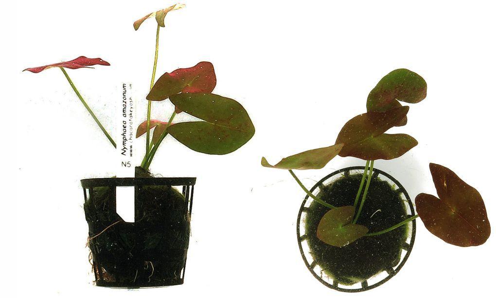 Nymphaea amazonum