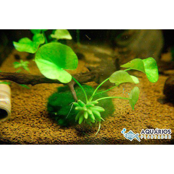 Nymphoides aquatica (Bananinha)