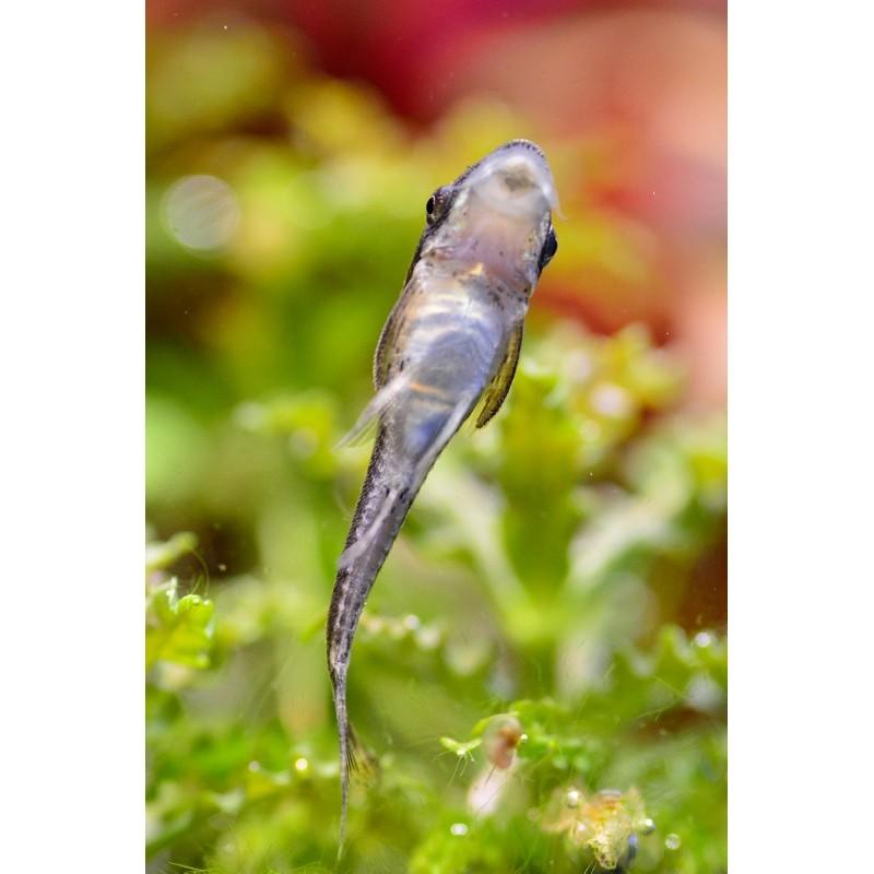 Otocinclus affinis - Limpa vidro