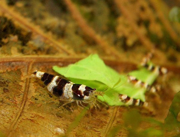 Paracaridina sp.