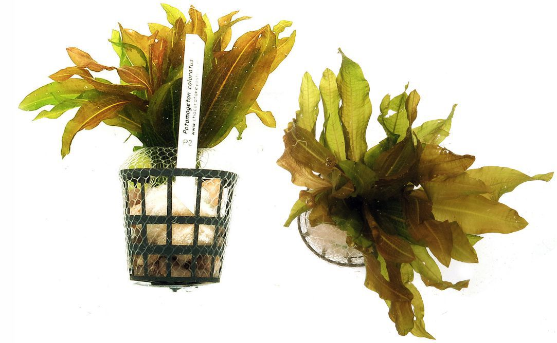 Potamogeton coloratus