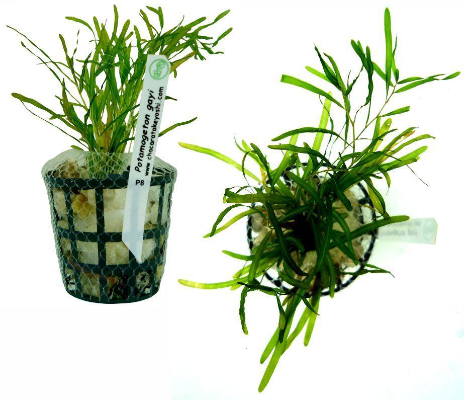 Potamogeton gayi - 6 ramos