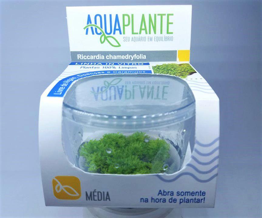 RICCARDIA CHAMEDRYFOLIA  'In vitro planta 100% Livre de pragas e algas'
